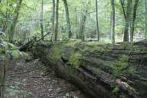 Der Nationalpark Bialowieza in Polen ist einer der letzten intakten Urwälder Europas.