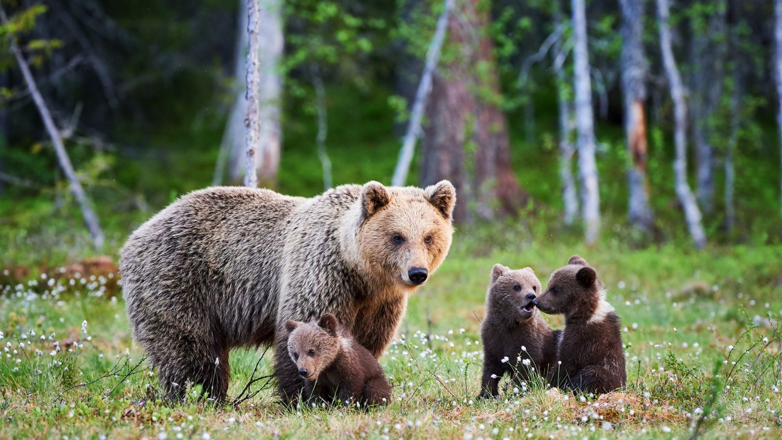 Eine Braunbärenmutter zieht mit ihrem Nachwuchs durch die finnische Taiga. Die Jungen bleiben bis zu dreieinhalb ...