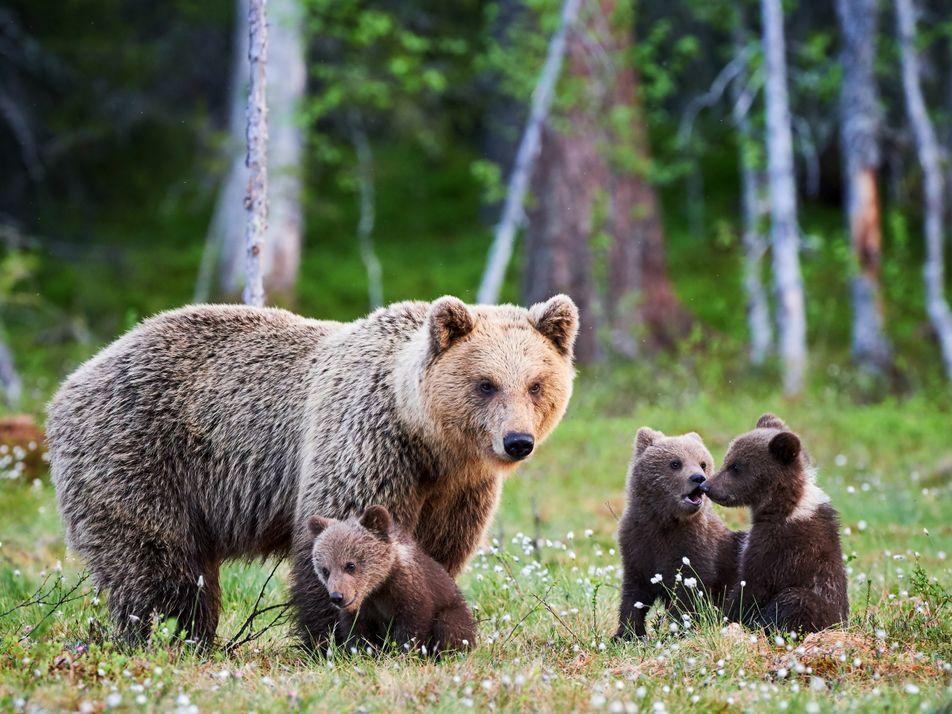 Europas Bären: Rückkehr mit Hindernissen