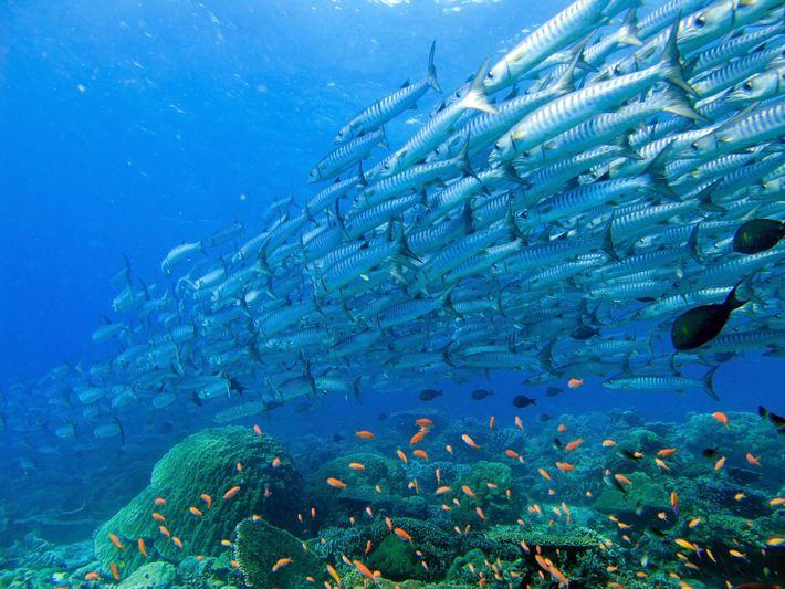 Fischschwärme sind ein Zeichen für ein gesundes Korallenriff.