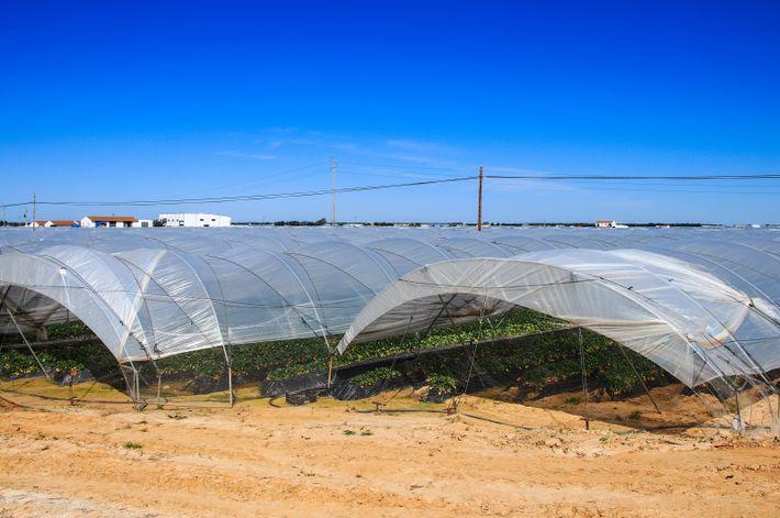 Erdbeerplantage in Spanien: Gerade in trockenen Ländern ist Wasser ein kostbares Gut. Das Bundesumweltamt rät deshalb ...