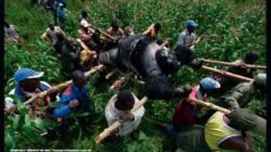 Wer ermordete die Virunga-Gorillas?