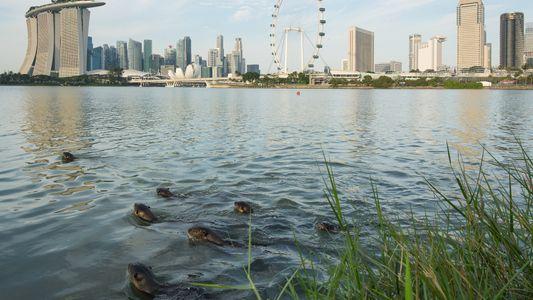 In Singapur erobern Otter die Stadt – und die Herzen