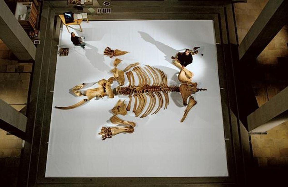 Skelett einer Elefantenkuh