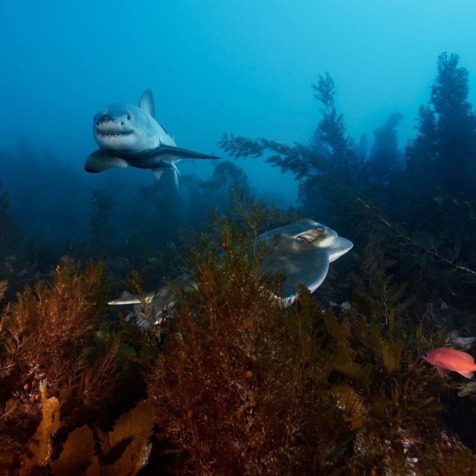 Galerie: Imagewandel für Haie: Liebeserklärung eines Fotografen