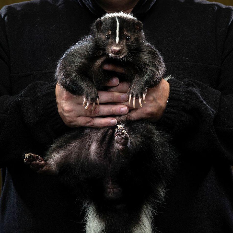 Schwarzweiße Liebschaft: Aus dem Leben von Stinktier-Besitzern