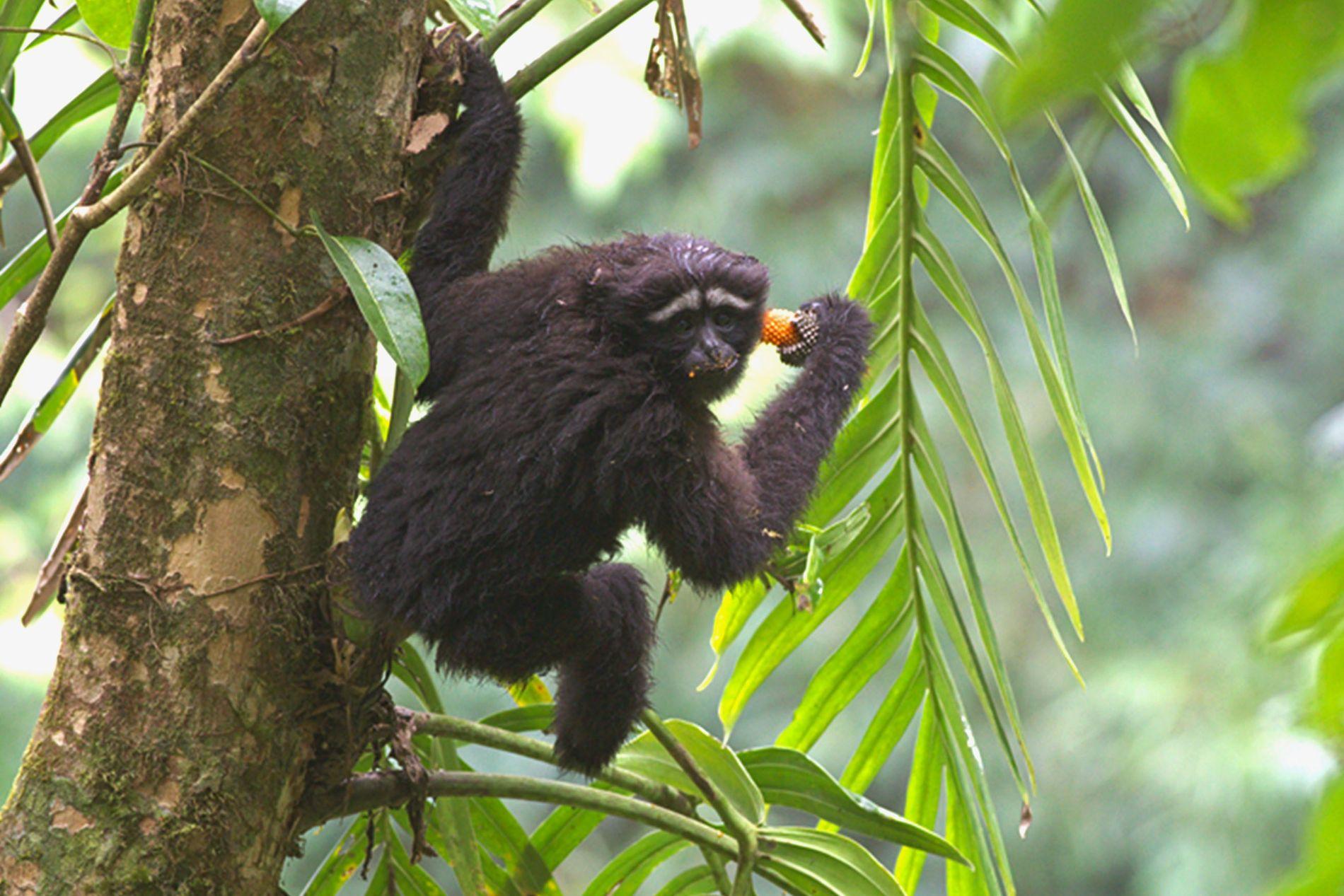 juvenile hoolock gibbon
