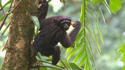 """Diese Affenart wurde nach """"Star Wars"""" benannt"""