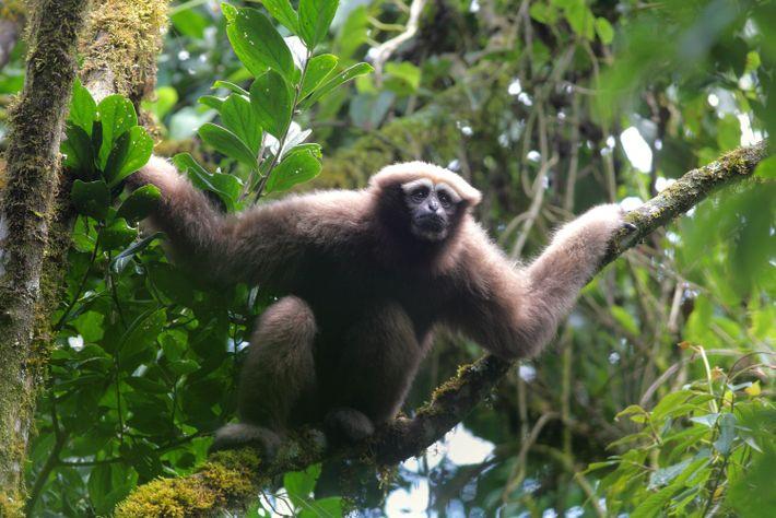 Ein erwachsener, weiblicher Skywalker-Hoolock-Gibbon schaut in die Ferne – wie der junge, ängstliche Luke Skywalker über ...