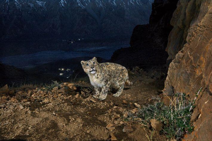Eine Kamerafalle fängt ein altes Schneeleopardenmännchen auf einem Berg über dem Spiti-Tal im Himalaya ein. Der ...