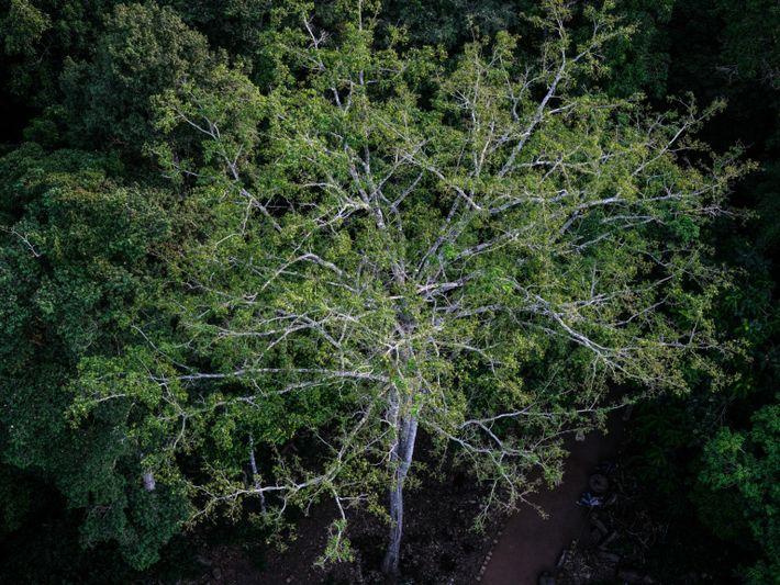 Baumkronen im Kongo-Regenwald in Yangambi.