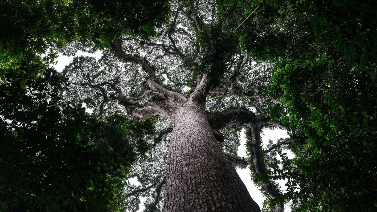 Neue Pläne der Demokratischen Republik Kongo sehen vor, dass der Regenwald nach 20-jähriger Pause wieder für ...