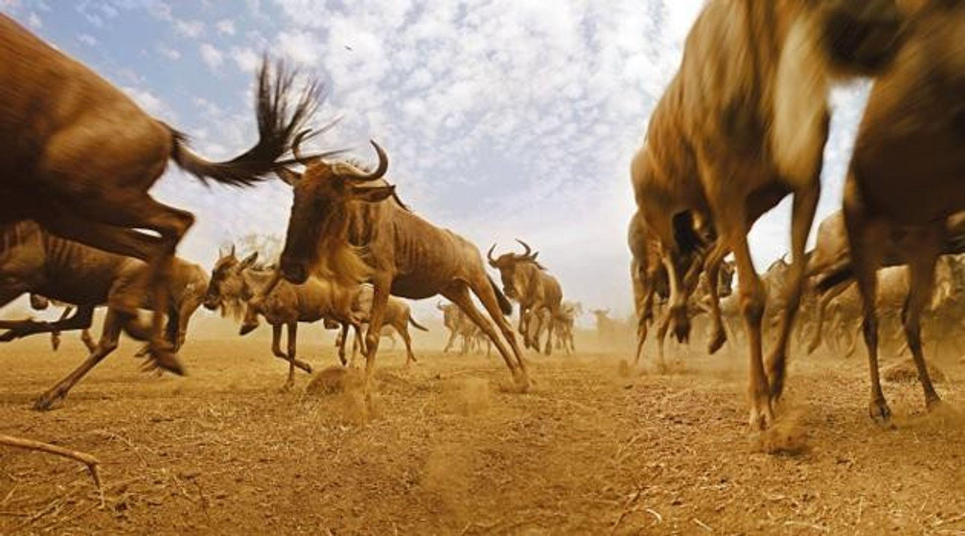 Tierwanderungen - Wandern, um zu überleben