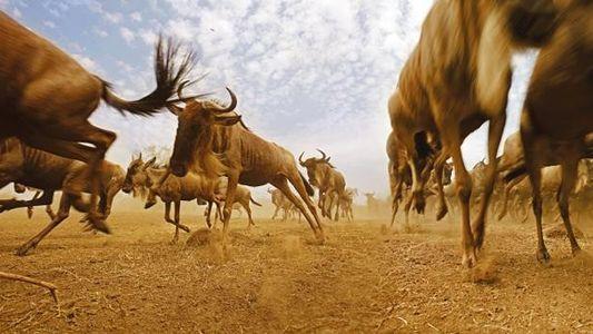Galerie: Tierwanderungen - Wandern, um zu überleben