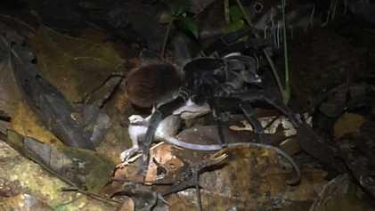 Riesenspinne erlegt Opossum