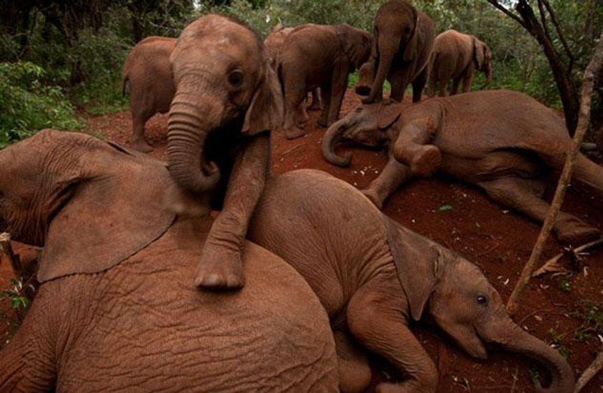 Selbst mutterlose Elefanten scheinen das Gruppenverhalten ihrer Art zu kennen. Hier legen sich die ältesten Tiere …