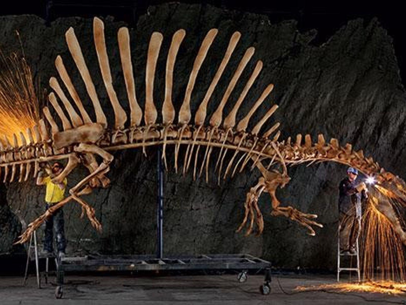 Funken sprühen bei letzten Schleifarbeiten am lebensgroßen Spinosaurus-Skelett.