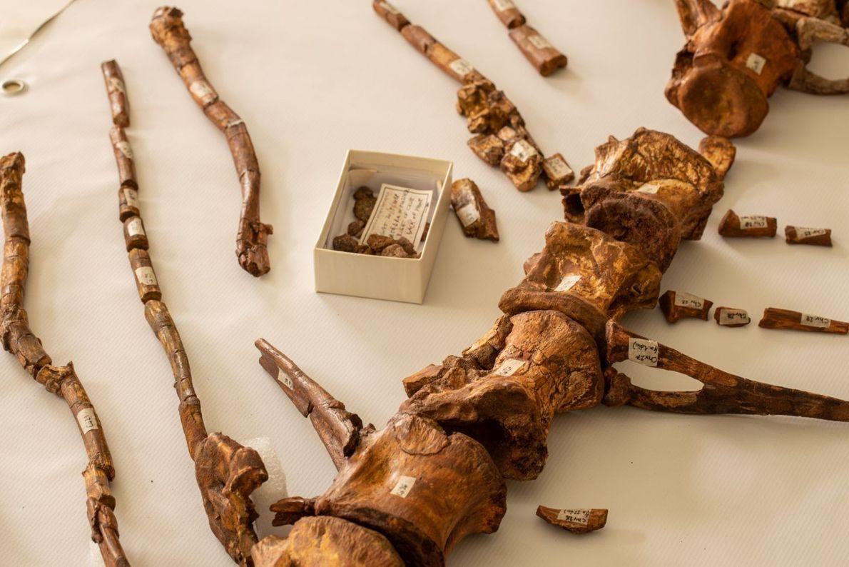 Schwanzwirbel des Spinosaurus