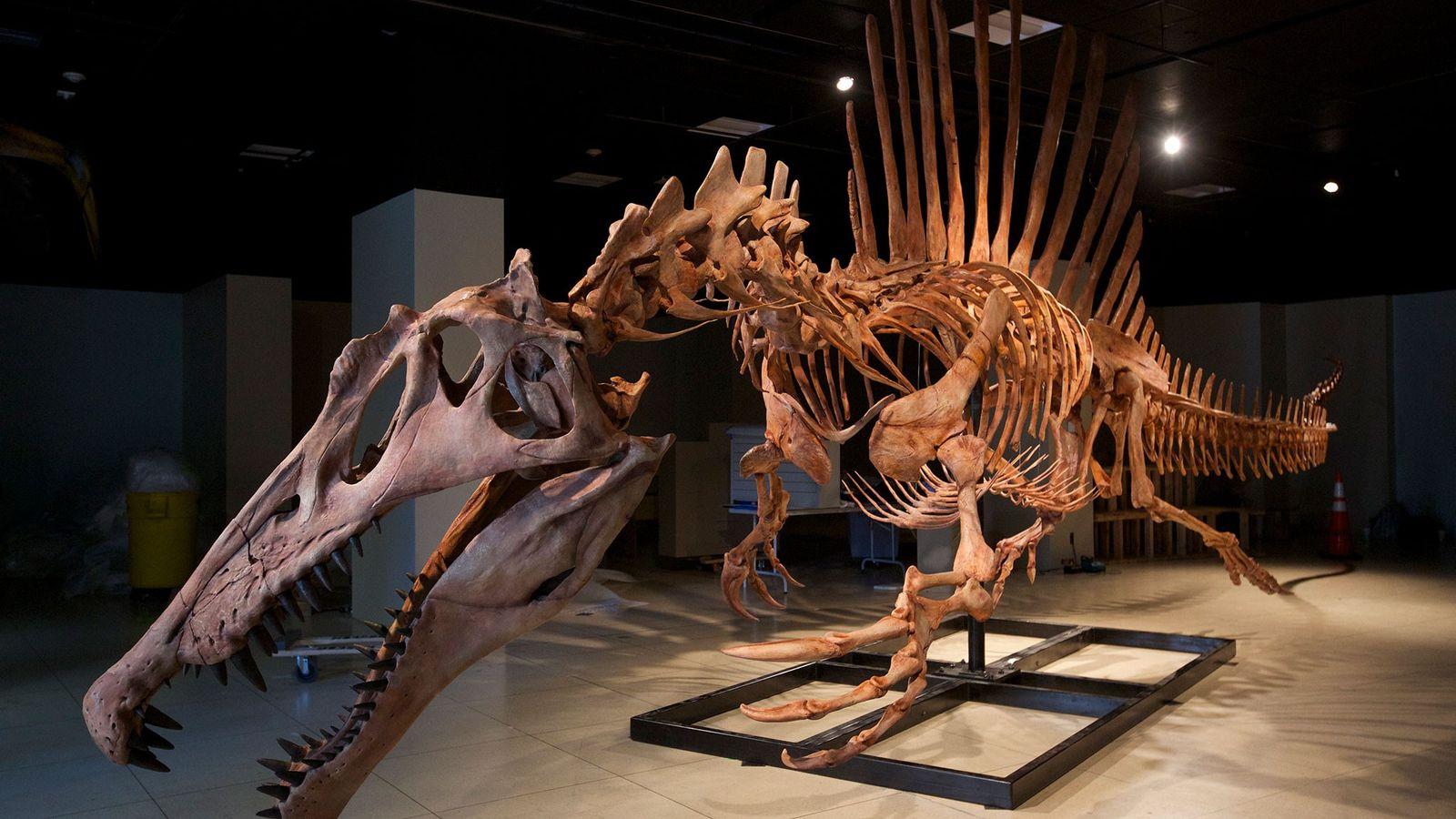 Ein lebensgroßes Modell des Skeletts eines Spinosaurus aegyptiacus, dem größten fleischfressenden Dinosaurier, der je gefunden wurde.