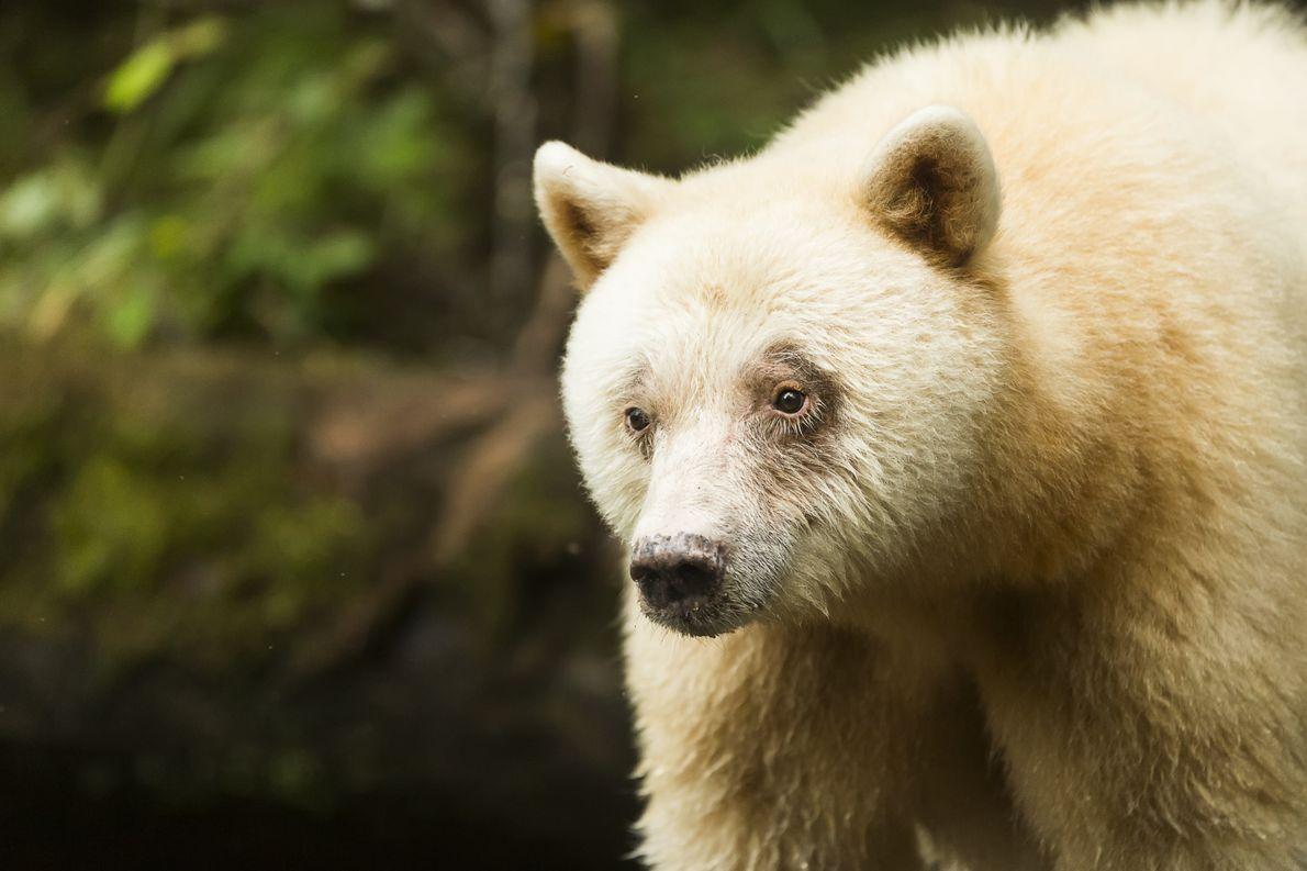"""Nahaufnahme eines seltenen weißen Kermodebären oder """"Geisterbären"""" im Great Bear Rainforest."""