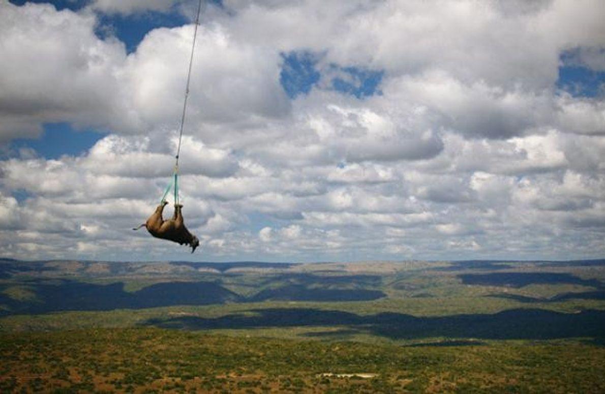 Spitzmaulnashorn wird per Hubschrauber evakuiert