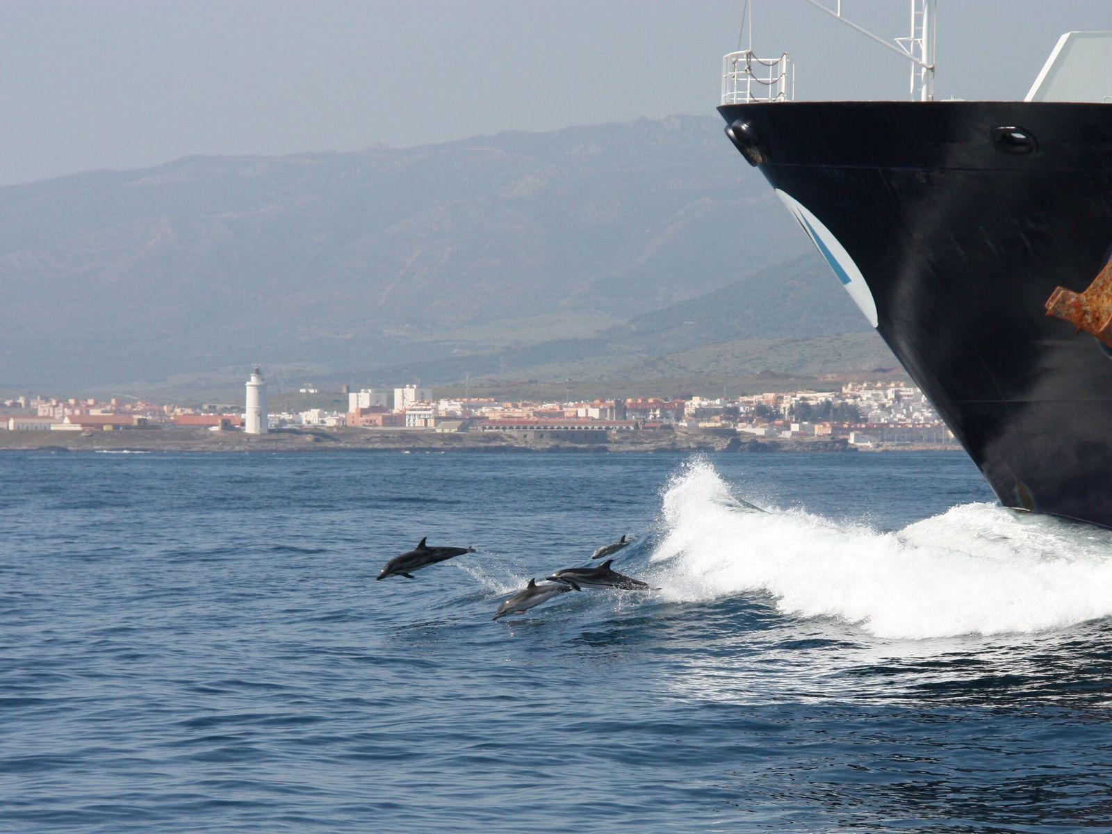 Gestreifte Delfine vor einem Frachtschiff in der Straße von Gibraltar