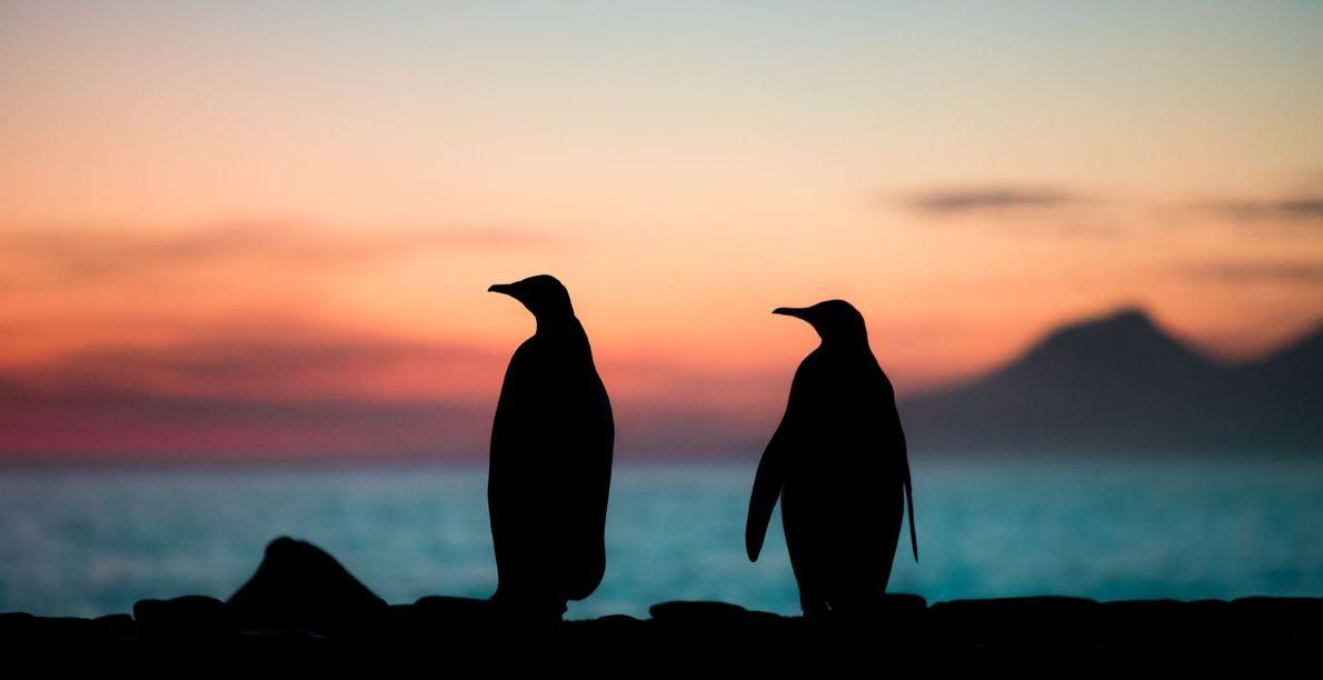 Zwei Königspinguine scheinen sich den Sonnenaufgang in der St. Andrews Bay auf Südgeorgien anzusehen.