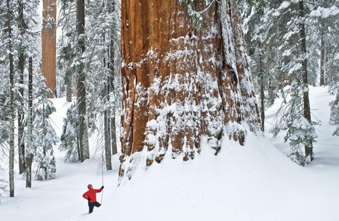 Steve Sillett am Fuße des Riesenmammutbaumes