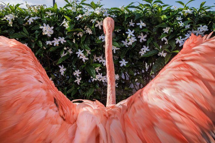 Flamingo Bob streckt nach dem Schwimmen die Flügel aus.