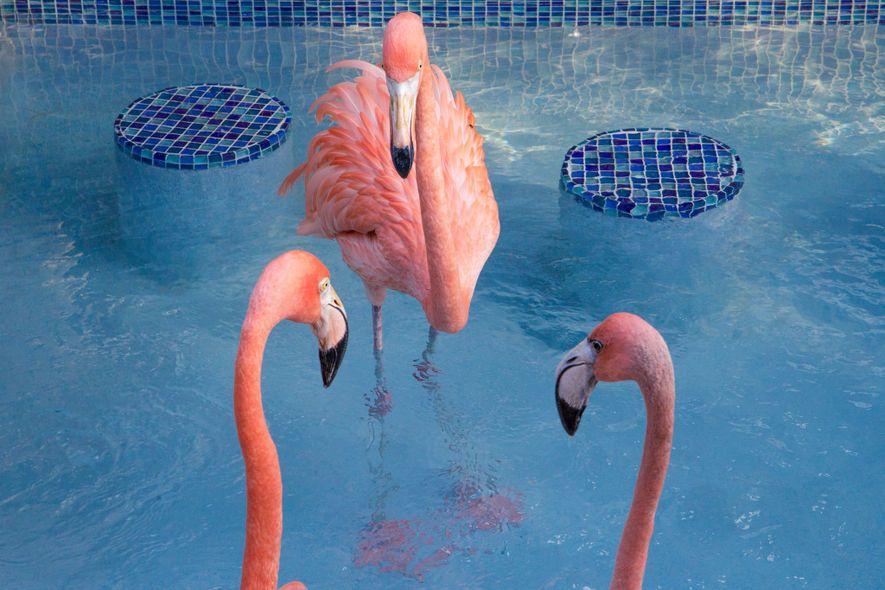 Flamingo badet im Salzwasserpool.
