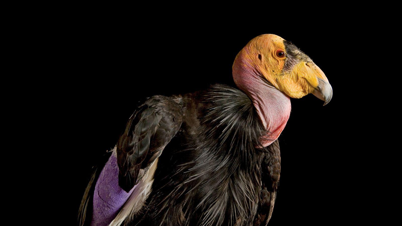 Kalifornischer Kondor