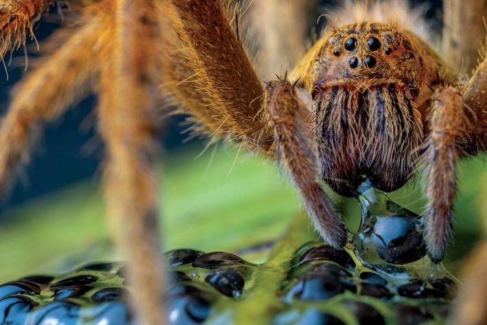 Eine Spinne frisst die Eier eines Smaragdglasfroschs