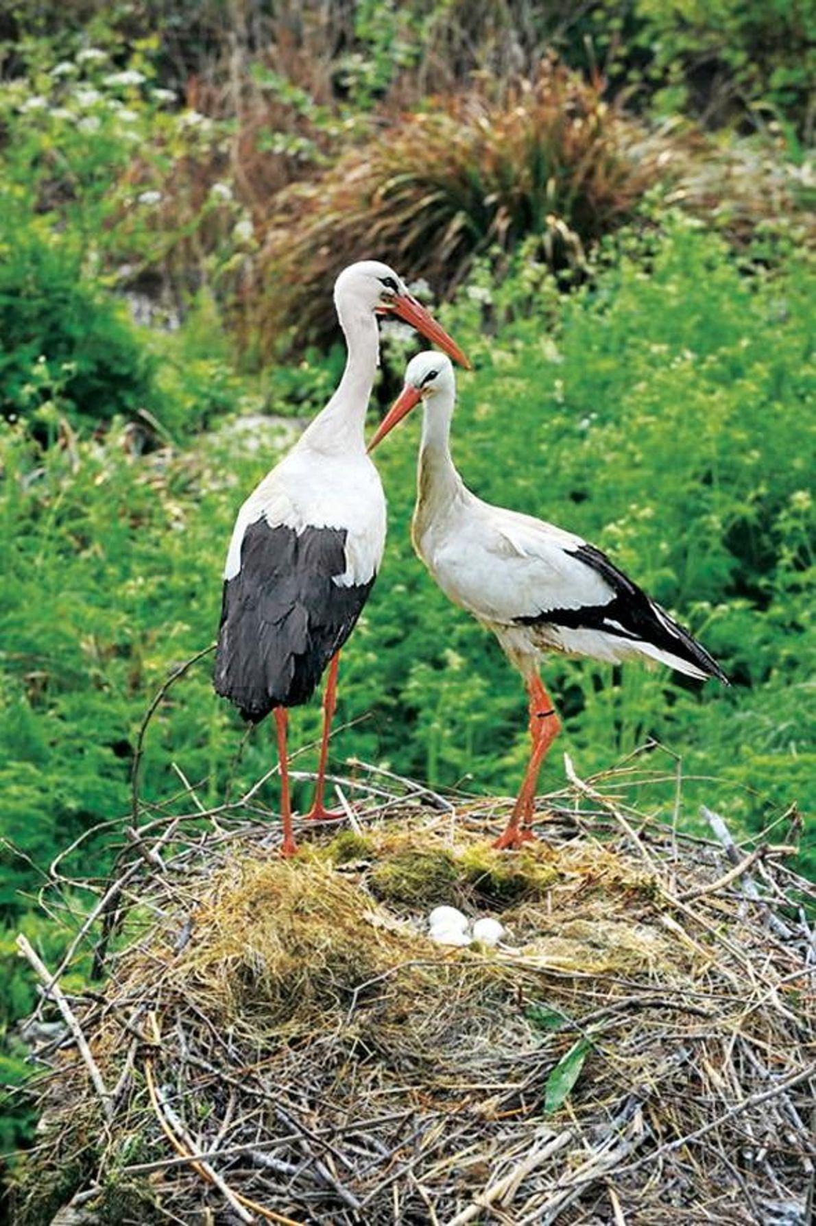 WAHRE LIEBE Wer sagt, dass Fernbeziehungen nicht funktionieren? Ein Storch namens Romeo verbringt jedes Jahr sechs Monate ...