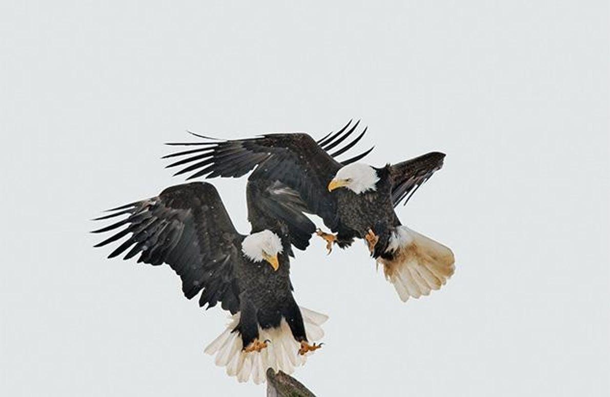 Streitende Seeadler