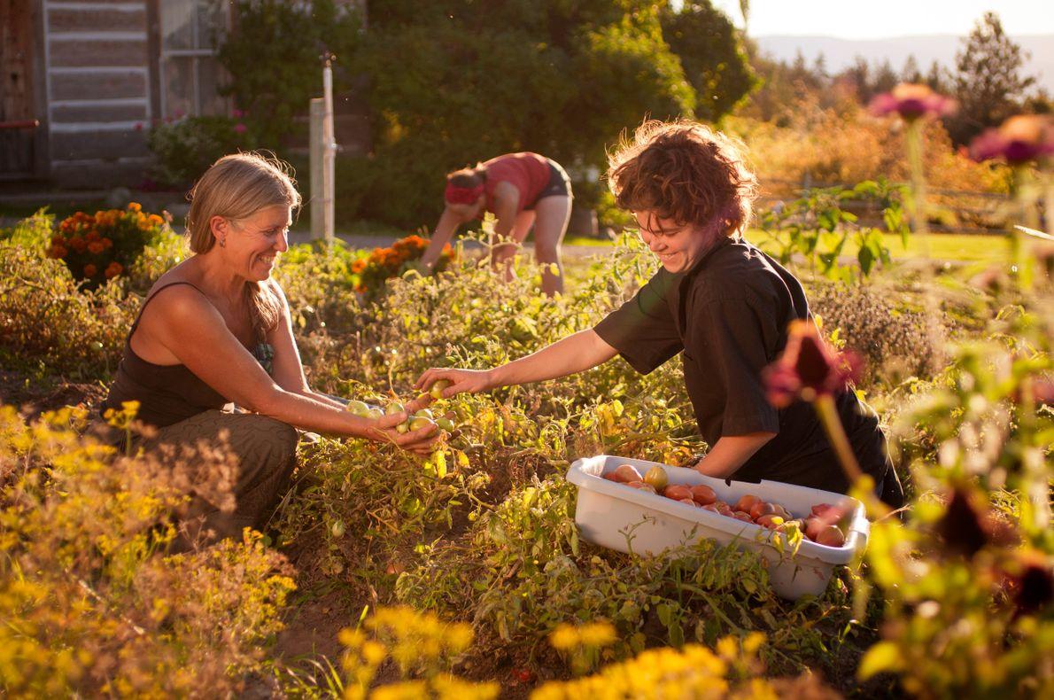 Besucher ernten Früchte von den Feldern der Summerhill Pyramid Winery, die direkt im Anschluss für die …