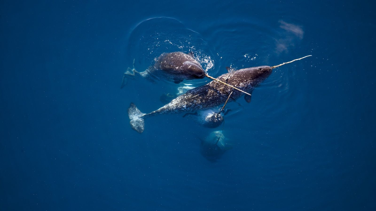 In der Nähe des kanadischen Admiralty Inlet zeigen Narwale ihre Stoßzähne, die bis zu zweieinhalb Meter ...