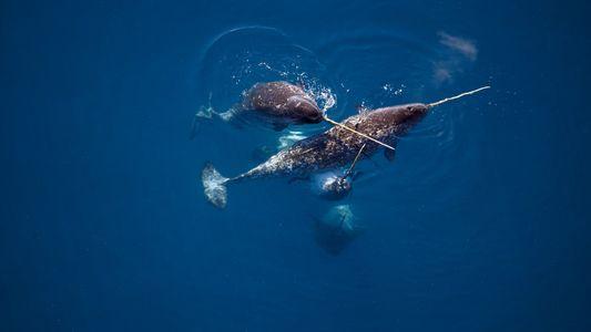 """Narwale: Wo kann man die """"Einhörner des Meeres"""" sehen?"""