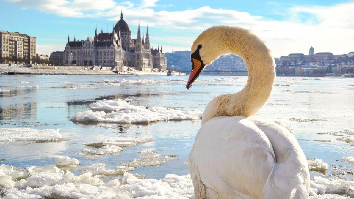 Ein Schwan sitzt am Ufer der Donau in der ungarischen Hauptstadt Budapest, als das Eis des ...