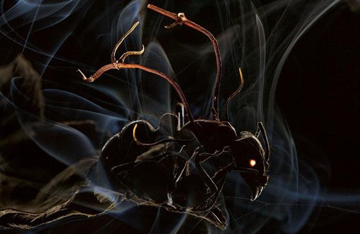 Täter: Ophiocordyceps-Pilz - Opfer: Amazonas-Ameise