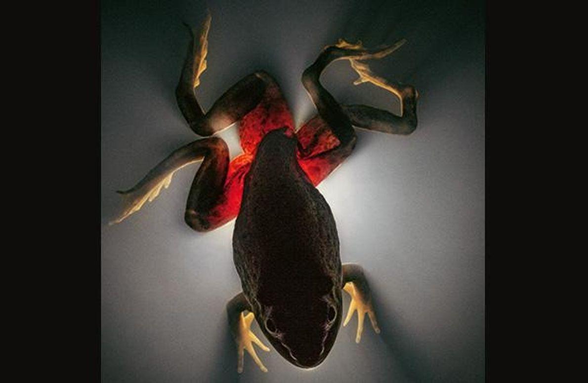 Täter: Parasitischer Saugwurm - Opfer: Ochsenfrosch