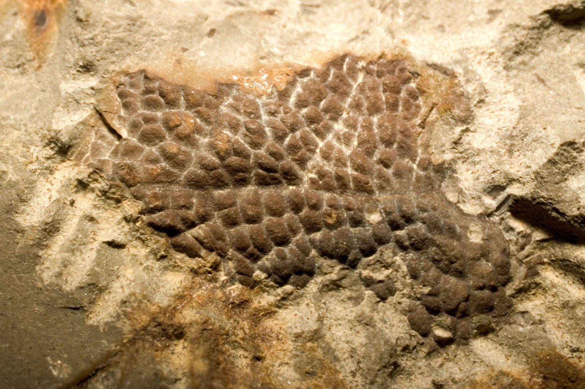 Diese versteinerte Haut stammt vom Hals eines Tyrannosaurus rex.