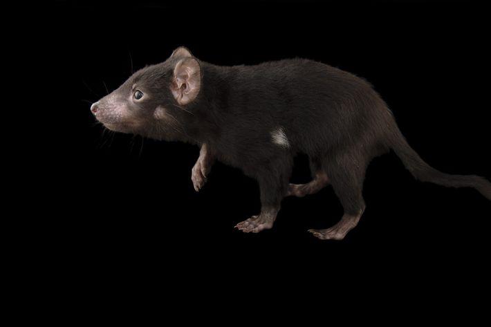 Ein fünf Monate alter Tasmanischer Teufel (Sarcophilus harrisii) namens Mulana (in der Sprache der Aborigines bedeutet ...