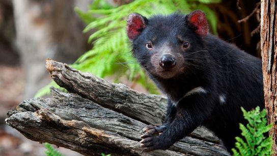 Ein Beutelteufel steht 2008 auf einem Baumstamm im Something Wild Animal Sanctuary in Tasmanien.