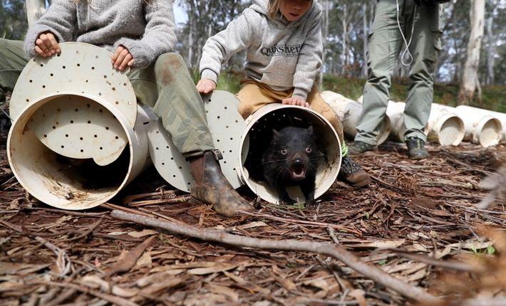 Die Beutelteufel beziehen ihre neue Heimat in den Eukalyptuswäldern Ostaustraliens.