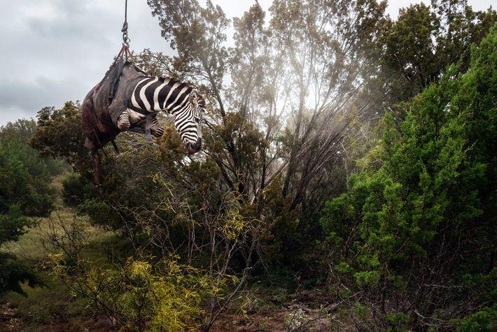 Ein betäubtes Zebra