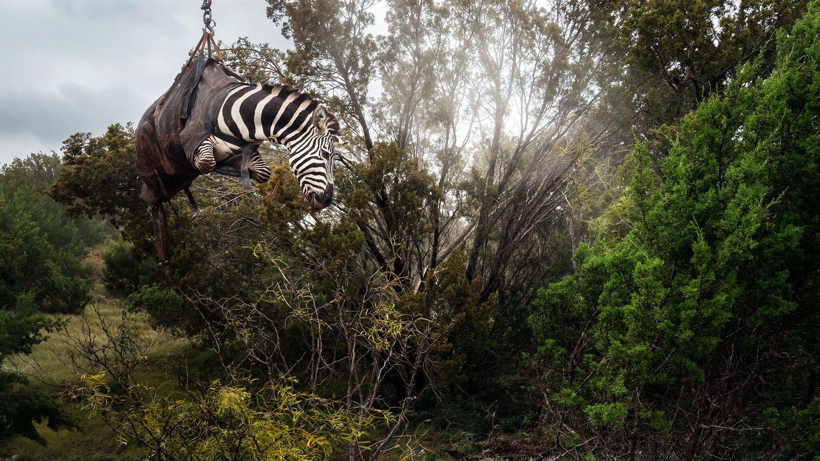 Ein sediertes Zebra wird auf einer texanischen Ranch namens Sexy Whitetails in der Nähe von San ...