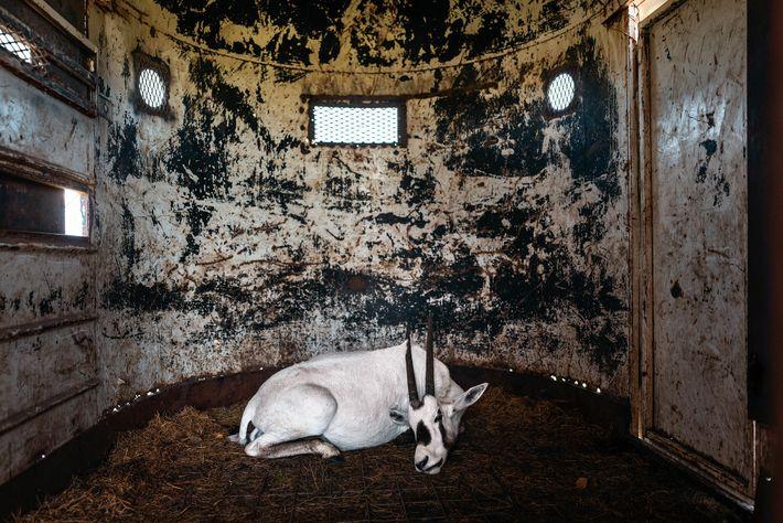 Eine sedierte Arabische Oryx in einem Anhänger auf der texanischen Ranch 777 wartet auf den Transport ...