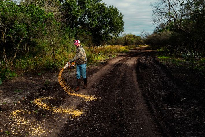 777 Ranch guide Kade McGuffin spreads corn to attract axis deer for hunters.