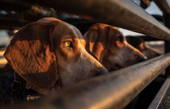 Jagdhunde blicken aus Lastwagen heraus