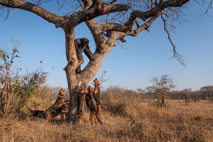 Training mit Jagdhunden im Kruger-Nationalpark